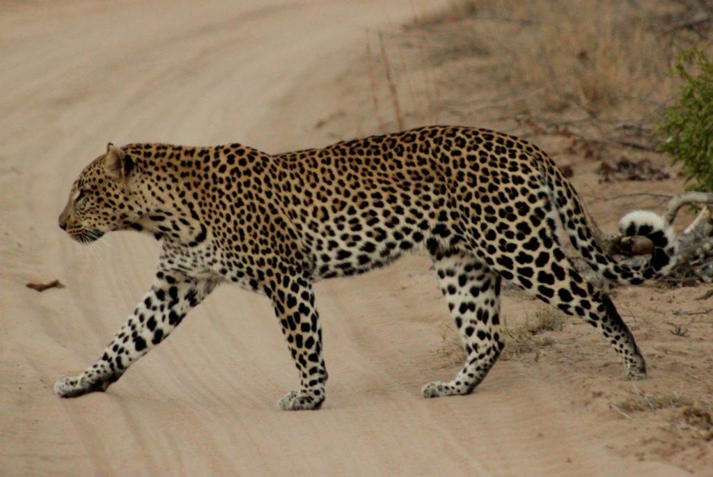 vanessa raath leopard sourcing